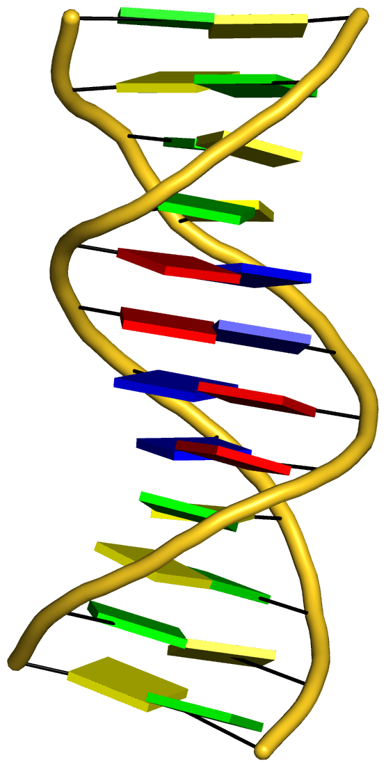 Dickerson B-DNA dodecamer (355d) in cartoon-block representation